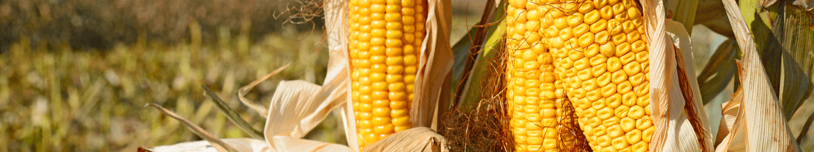 banner blog preço justo milho