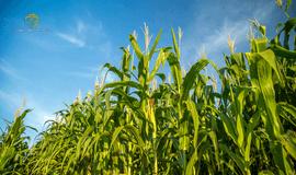 Qual o melhor momento para vender a safra de milho?