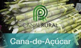 Canadá aprova açúcar de cana transgênica do Brasil