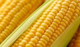 Colheita do milho avança, mas preços seguem firmes